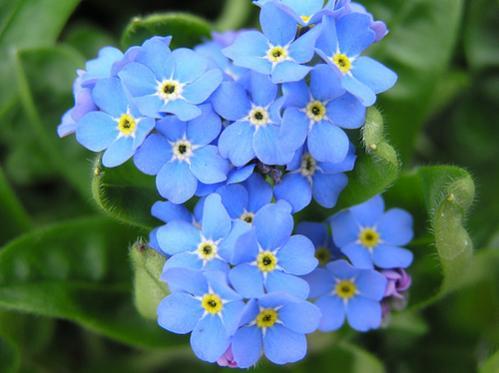 Nome:   significato-dei-fiori-non-ti-scordar-di-me.jpg Visite:  118 Grandezza:  26.3 KB