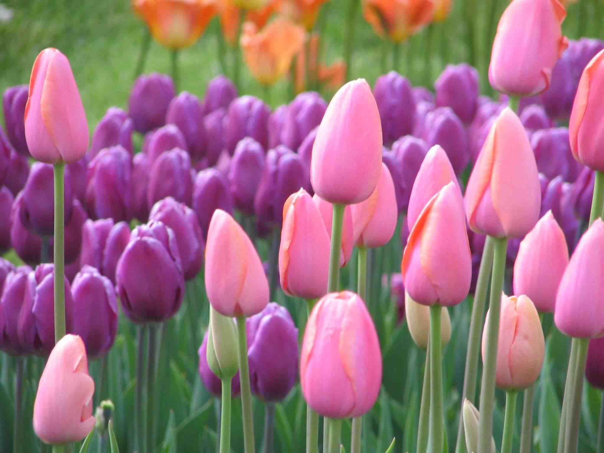 Nome:   pinkpurpletulips.jpg Visite:  476 Grandezza:  81.9 KB