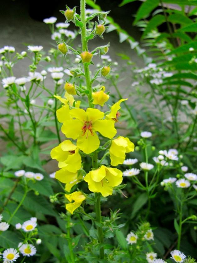 Nome:   IMG_0657 fiore giallo.jpg Visite:  202 Grandezza:  75.4 KB