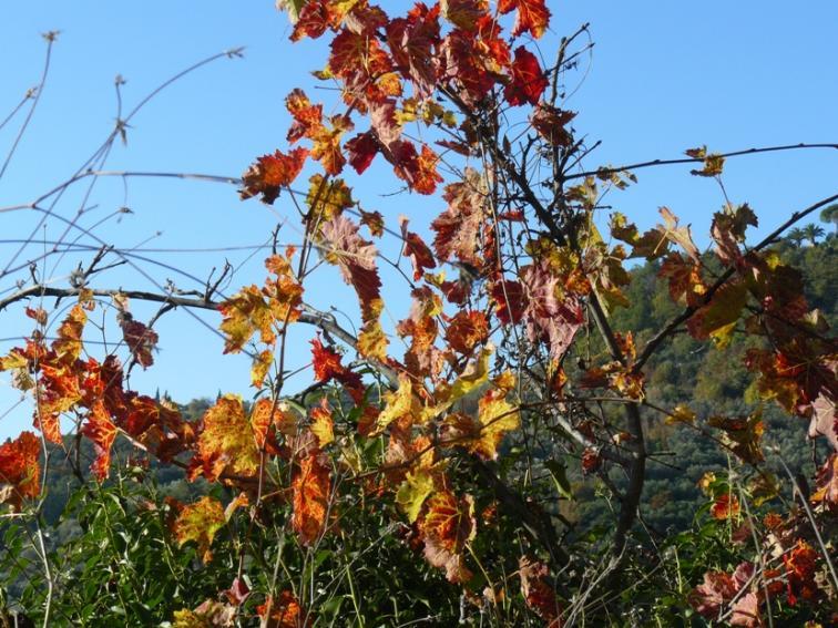 Nome:   P1150190 foglie di vite.jpg Visite:  61 Grandezza:  103.0 KB