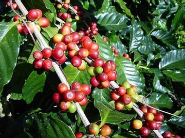Nome:   pianta_caffe1.jpg Visite:  472 Grandezza:  73.0 KB