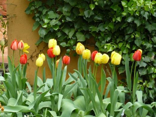 Nome:   P1040780 tulipani.jpg Visite:  203 Grandezza:  41.5 KB