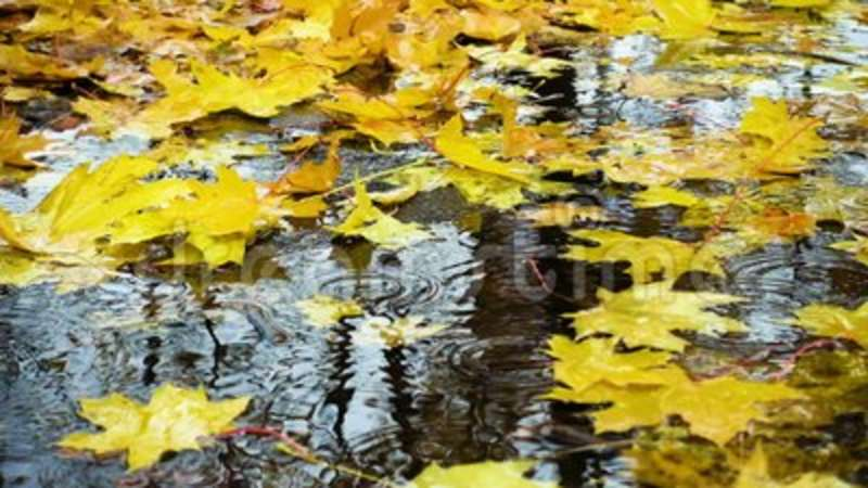 Nome:   rain-drops-falling-puddle-yellow-maple-leaves-102420853.jpg