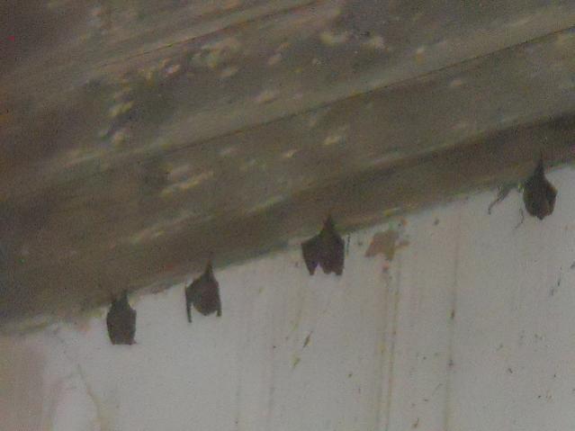 Nome:   Pipistrelli al cimitero.jpg Visite:  13 Grandezza:  26.8 KB